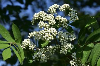 Blüte der Eberesche (Sorbus aucuparia); Bergenhusen, Stapelholm (10)