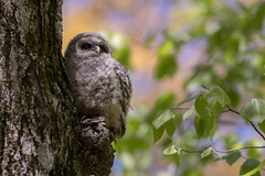 Barred Owlet (NicoleW0000) Tags: barredowl owlet wild wildlife nature bird photography woods tree leaves owl