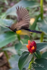 Taking flight! (jacysf) Tags: sunbird flying explore nature throughherlens birds birdsightings