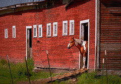 The Red Barn Near the Town of Palouse, Washington (BikeColorado) Tags: horse barn red palouse shy archeticture door stable