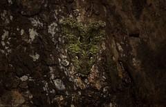Cascera muscosa (dustaway) Tags: arthropoda insecta lepidoptera notodontidae casceramuscosa prominentmoth australianmoths australianinsects tamborinemountain rainforest mounttamborine sequeensland queensland australia