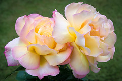 Roses in Bloom (Jez22) Tags: roses rose flower beautiful floral nature love romantic flora color closeup blooming colorful bright yellow orange roseflowers petals romance pink flowers botanical summer spring copyright jeremysage england macromademoiselle