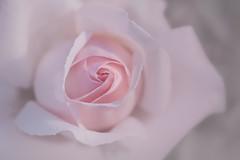 éveil parfumé (christophe.laigle) Tags: rose christophelaigle fleur macro natural nature flower fuji pink nantes biennaleroseparfumée xpro2 xf60mm parcdelaroseraie