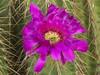 Echinocereus viereckii in the Cactus & Succulent Gardens, Tucson Bontanical Gardens (Distraction Limited) Tags: tucsonbotanicalgardens tucsonbotanical botanicalgardens gardens tucson arizona tbg20180605 echinocereusviereckii echinocereusmorricalii echinocereus hedgehogcactus cactus flowers cactusandsucculentgarden cactussucculentgarden