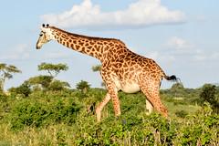 MASAI GIRAFFE (stewartbentley46) Tags: africa giraffe masaigiraffe tanzania tarangirenp
