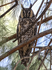 Long-eared Owl, Asio otus (bruce_aird) Tags: