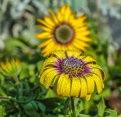 June Sunshine. (Omygodtom) Tags: flora flower daisy natural asia gold design tamron90mm macro dof bokeh usgs d7100 digital nikon