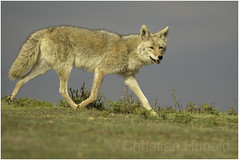 coyote (Christian Hunold) Tags: coyote wilddog northdakota christianhunold