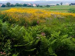 Helechos (Mar Roncero Sanchez) Tags: helechos pradera flores flowers carral spain galicia galiza yellow green landscape horizon