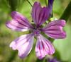 Common mallow (hedera.baltica) Tags: mallow commonmallow ślaz ślazdziki malvasylvestris