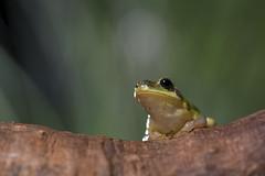 【中國樹蟾】 (Sam's Photography Life) Tags: 中國樹蟾 青蛙 台灣 樹蛙 frog nature night nikon d850 105微 105mm yn560 永諾 尼康 台中 都會公園 green 綠