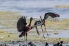 Glossy Ibis (Linda Martin Photography) Tags: wildlife matingdisplay nature glossyibis orlandowetlands matingdance plegadisfalcinellus us florida bird animal coth coth5 ngc naturethroughthelens npc