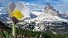 Pulsatilla Alpina - Monte Piana - Veneto - Italia (Felina Photography - in Ticino :-)) Tags: trecime dreizinnen pulsatilla alpina alpenanemoon anemoon alpine pasqueflower flower bloem fiore alpino alpenkuhschelle alpenküchenschelle hahnenfusgewächse ranunculaceae anemone anémonedesalpes pulsatilledesalpes pulsatille ranonkel sasanka alpejska