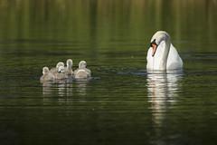 Motherly Love (Chris Bainbridge1) Tags: cygnusolor mute swan cygnets suffolk fen reed bed