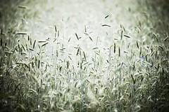 El gran misterio (Michael Degenhart) Tags: mystery summer holland netherlands utrecht amsterdam forest grain woods misterio
