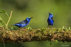 cyanerpes-cyaneus_NGR4129 (ninograngetto@hotmail.com) Tags: aves nikon d5 birds costa rica