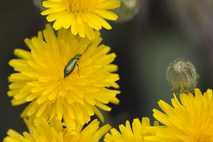 Oedemera en diente de león (ramosblancor) Tags: naturaleza nature animales wildlife insectos insects escarabajos beetles oedemera verde green flores flowers dientedeleón dandelion taraxacumofficinale amarillo yellow primavera spring madrid españa spain