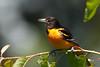 Baltimore Oriole_53F0585 (~ Michaela Sagatova ~) Tags: dundasvalley baltimoreoriole birdphotography canonphotography michaelasagatova oriole