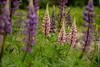 Wild Lupine (Larry E. Anderson) Tags: biome ecosystem lupinusperennis minnesota wildlupine flowersplants forest seasons spring trees wildflower
