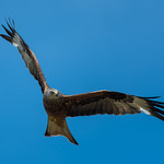 Red kite in flight thumbnail