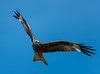 Red kite in flight (Metalbrother) Tags: philippholler wallis aargau switzerland schweiz world photography camera nikon d850 d750 d3200 sigma tamron nikkor 1530 35 2470 70200 150600 300 creativecommons landscape animal bird exposure trend path day night lens nature color redkite kite red
