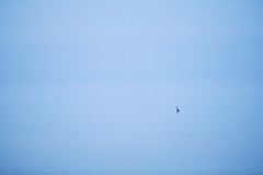 Haubentaucher (generalstussner) Tags: haubentaucher meer see ostsee blau blauestunde sea seascape minimalism minimal minimalistic natur nature canon