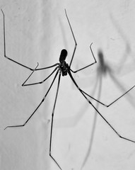 Spider and it's shadow (samuel.t18) Tags: macro spider black white samuelt18 nikon d3200 dslr 60mm life size 11 nature house shadow