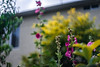 ILCE-7M2-00515-20180525-1921-HDR // Vivitar VMC Auto 55mm 1:1.4 (Tomioka) (Otattemita) Tags: 55mmf14 florafauna vivitarcosina vivitartomioka vivitarvmc vivitarvmcauto55mmf14 fauna flora flower nature plant wildlife vivitarvmcauto55mm114tomioka sony sonyilce7m2 ilce7m2 55mm cnaturalbnatural ota