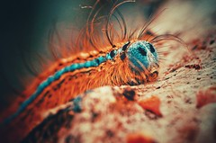 Hot Fuzz (orbed) Tags: caterpillar macro web silk orangeblue lackey moth nature natural hair fur insect