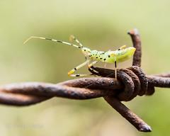 Insect on barbed wire (Ivan Costa) Tags: inseto insect barbedwire barbed wire aramefarpado arame farpado rusty enferrujado antennas antenas macro macrofotografia macrophotography 3415
