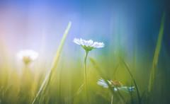 Auspicious lighting (Dhina A) Tags: sony a7rii ilce7rm2 a7r2 a7r kaleinar mc 100mm f28 kaleinar100mmf28 5n m42 nikonf russian ussr soviet 6blades gras daisy blurs bokeh flowers