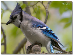 Blue Jay (Betty Vlasiu) Tags: blue jay cyanocitta cristata bird nature wildlife