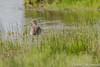 Grutto (Chantal van Breugel) Tags: texel vogels grutto de muy noordholland 2018 mei