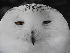 Snowy Owl (blue33hibiscus) Tags: bird birdofprey snowyowl axevalleywildlifepark axminster devon