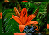 the first lily blossom in my garden (scorpion (13)) Tags: lily blossom flower plant garden nature frame colors creative photoart
