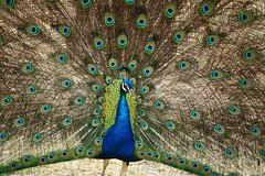 Zoo Sete Rios (hans pohl) Tags: portugal lisbonne zoo animaux animals nature oiseaux birds paon