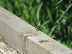 First Dragonfly (Wildlife Terry) Tags: rspbleightonmoss silverdale lancashire northwestengland wildlifeandnature birdwatching flyinginsect amateurphotography june2018