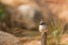 (Laszlo Papinot) Tags: bird superbfairywren werribeeopenrangezoo werribee male minimalist
