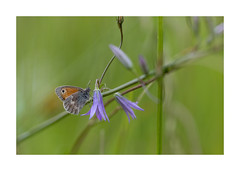 L'Amaryllis papillon -3002125A3002 (helenea-78) Tags: macro nature proxy insectes insecte papillon amaryllis