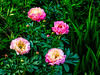 A Flower's Life (Colormaniac too - Many thanks for your visits!) Tags: flowers peonies peonycoral sunset blooms lifestages botanical perennial summer garden colorful sequim olympicpeninsula washingtonstate pacificnorthwest topazstudio