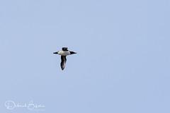 Common Murre (dbifulco) Tags: bird cannonbeach commonmurre flight flying nature oregon oregoncoast wildlife