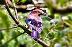 Garrulus glandarius (Radosław Owczarczak) Tags: garrulus glandarius garrulusglandarius bird