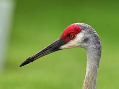 06-09-18-0021825 (Lake Worth) Tags: animal animals bird birds birdwatcher everglades southflorida feathers florida nature outdoor outdoors waterbirds wetlands wildlife wings