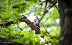 Woodpecker (Dean Purcell) Tags: woodpecker rspb great greater bird fledging twitcher twitching knypersley