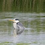 Heron-Ripples P1760682 thumbnail