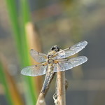 Four-Spotted Chaser P1760738 thumbnail