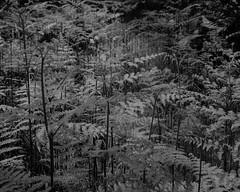 Ferns (Hyons Wood) (Jonathan Carr) Tags: black white monochrome rural northeast landscape bw largeformat 4x5 5x4 ancient woodland