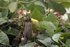 41355 Olive-backed Sunbird (Cinnyris jugularis) adult female feeding a spider to a juvenile in an urban garden, Ipoh, Perak, Malaysia. IUCN = Least Concern. (K Fletcher & D Baylis) Tags: animal wildlife fauna bird sunbird olivebackedsunbird passerine passeriformes nectariniidae cinnyrisjugularis leastconcern nectar urban garden ipoh perak malaysia asia june2018