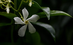 Star jasmine (PChamaeleoMH) Tags: buds flowers garden macro starjasmine