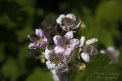Blackberry Flowers, Cascade Locks, Oregon (Gary L. Quay) Tags: cascadelocks oregon columbiagorge river columbiariver blackberry flowers orton nikon d810 gary quay garyquay cascade locks